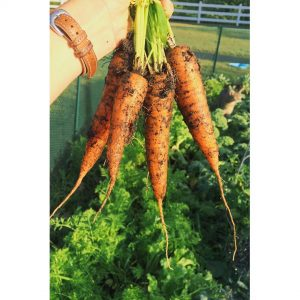 Carrots from my vegetable garden 2015