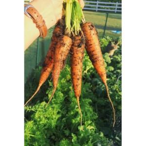 Carrots from my vegetable garden 2015